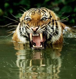 Tiger-sunderbans.jpg